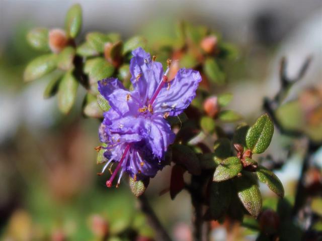 Rh. nivale ssp. australe FB15-2019, Muli