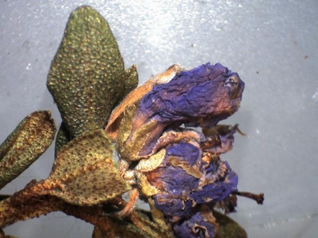Rh. nivale ssp. australe FB15-2019 calyx 2.6 mm