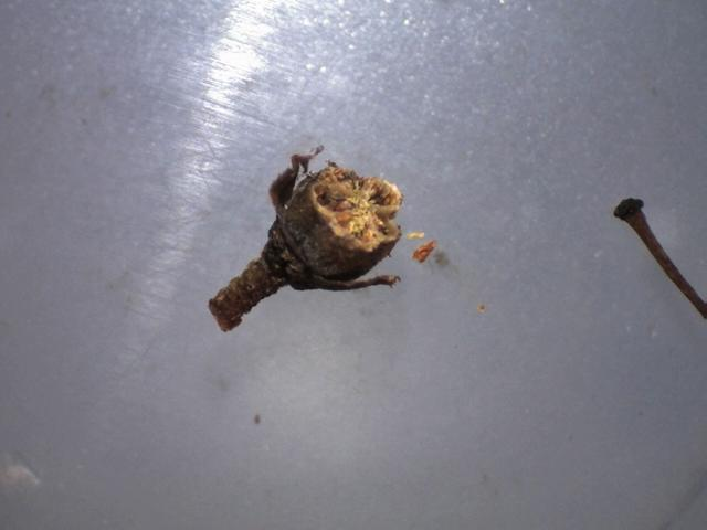Rh. nivale ssp. australe, FB15-2019, capsule cross-section 5 locules