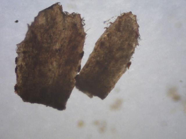 Rh. nivale ssp. australe FB15-2019 ciliate calyx lobes
