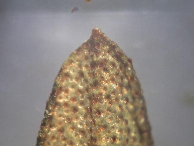 Rh. nivale ssp. australe FB15-2019, mucro