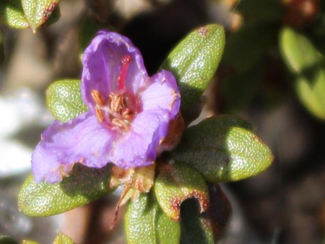 Rh. nivale ssp. australe FB15-2019, single flower opening