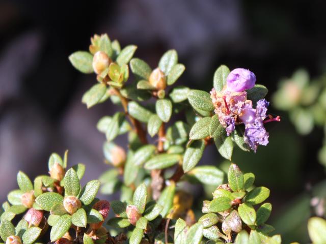 Rh. nivale ssp. australe FB15-2019
