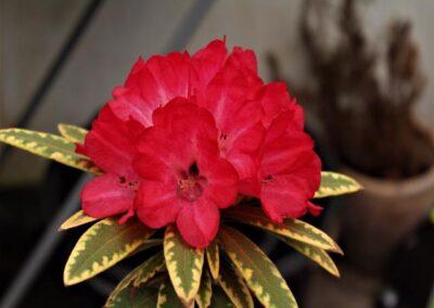 Rhododendron  delavayi var. delavayi 'Shibaoshan'