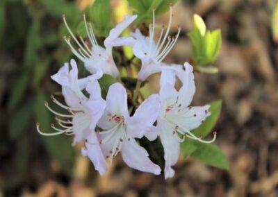 Rhododendron yunnanense FB24-2013 'Gesala'