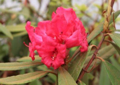 Rhododendron delavayi X 'Baili'