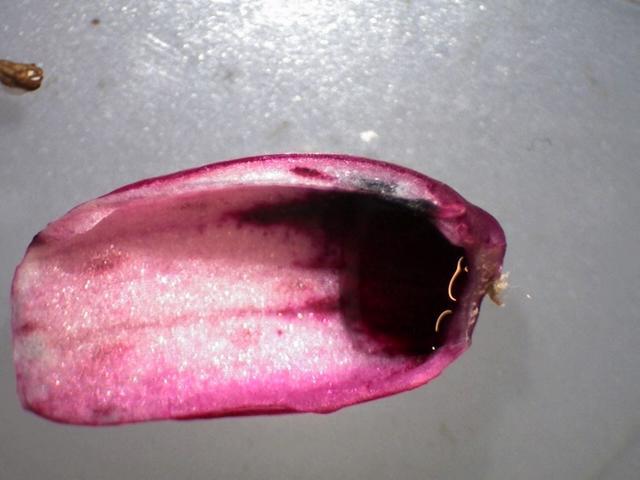 Rh. delavayi var. delavayi, FB 1-2014, nectar pouch and dark blotch