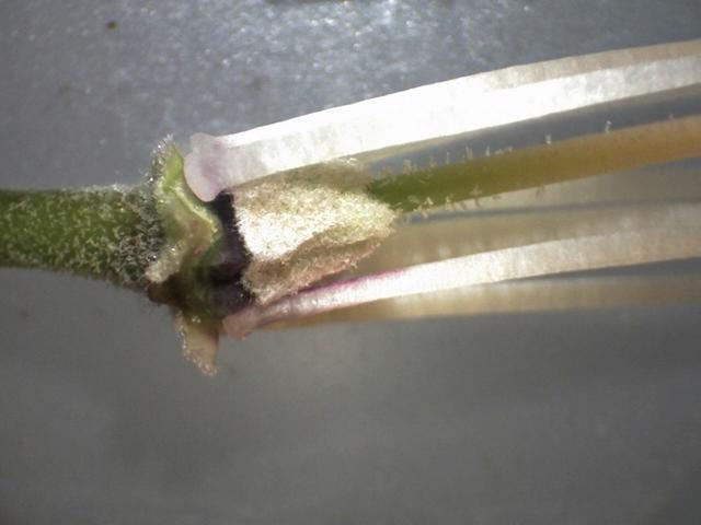 Rh. delavayi var. delavayi, FB1-2014, calyx and ovary