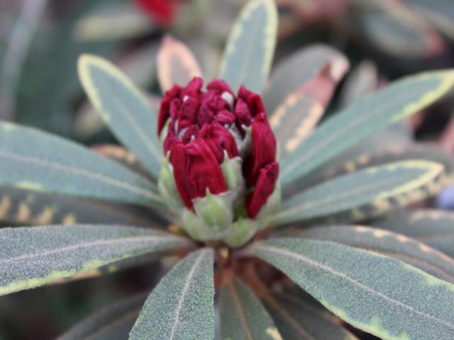 Rh. delavayi var. delavayi, FB1-2014, opening flower bud