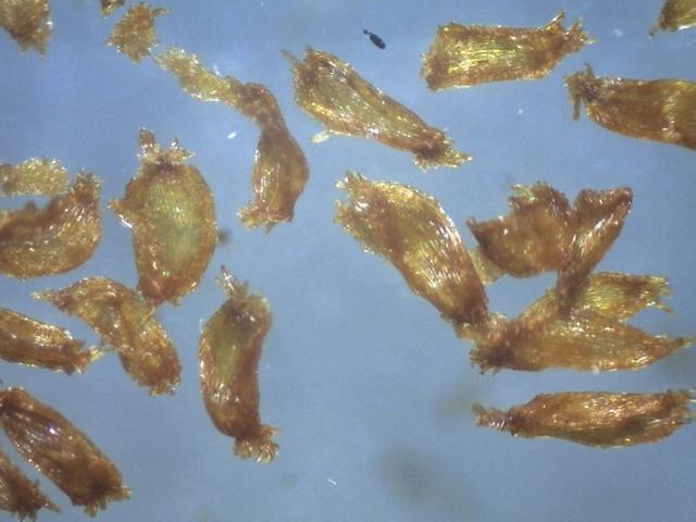 Rh. delavayi var. delavayi, FB1-2014, seeds 1.1 - 1.3 mm