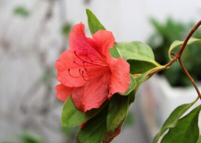 Rhododendron simsii var. simsii 'Baili'