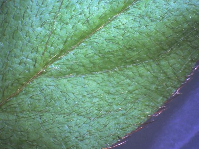 Rh. simsii, FB10-2015 leaf u. s.