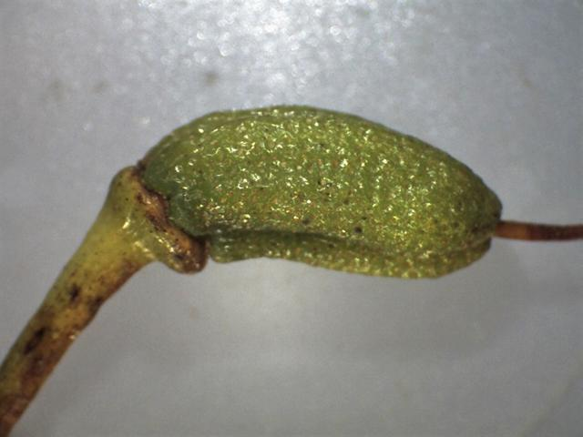 Rh. yunnanense FB24-2013, capsule, 10 mm