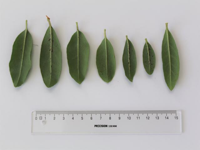 Rh. yunnanense FB24-2013, leaves lower side