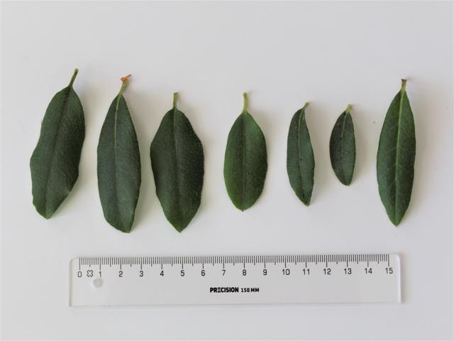 Rh. yunnanense FB24-2013, leaves upper side
