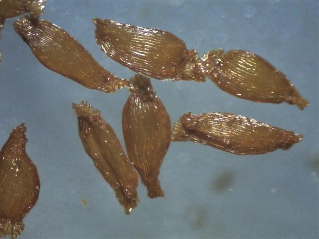 Rh. yunnanense FB24-2013, seeds, 1500-1800 micrs.