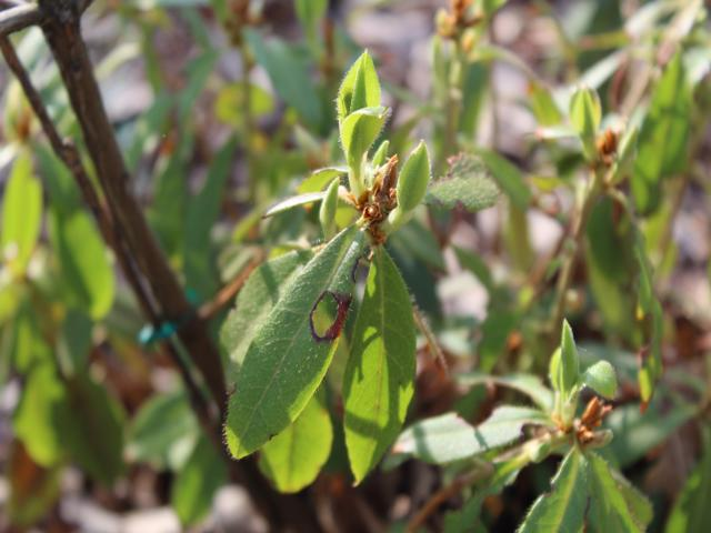 Rh. yunnanense FB24-2013, young leaves