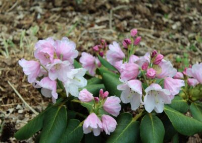 Rhododendron yuefengense