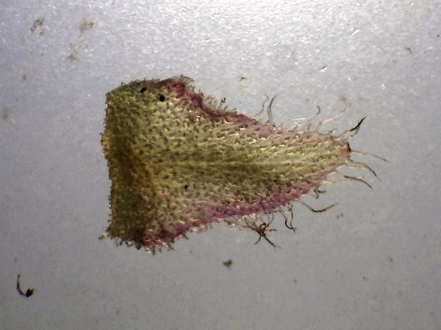 Rh. crinigerum, ciliate calyx