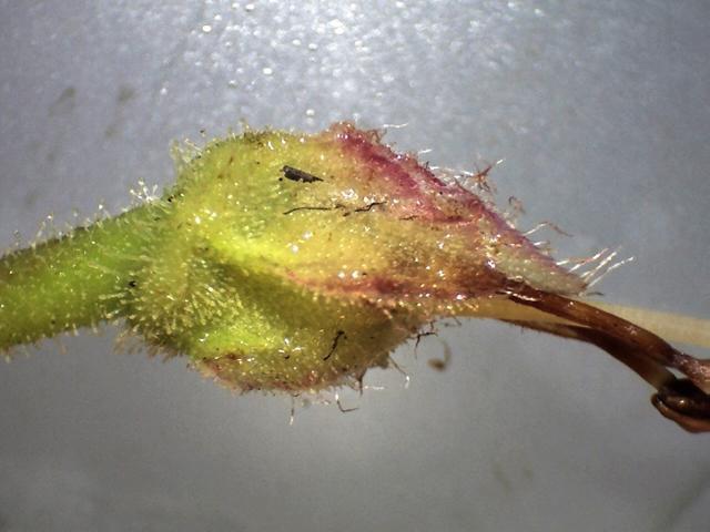 Rh. crinigerum, ciliate calyx,10 mm