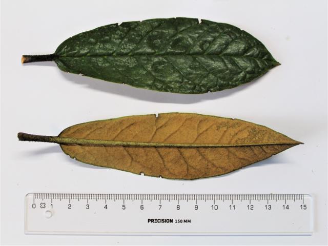 Rh. crinigerum leaves