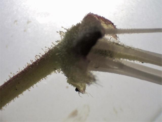 Rh. crinigerum, stipitate glandular pedicel