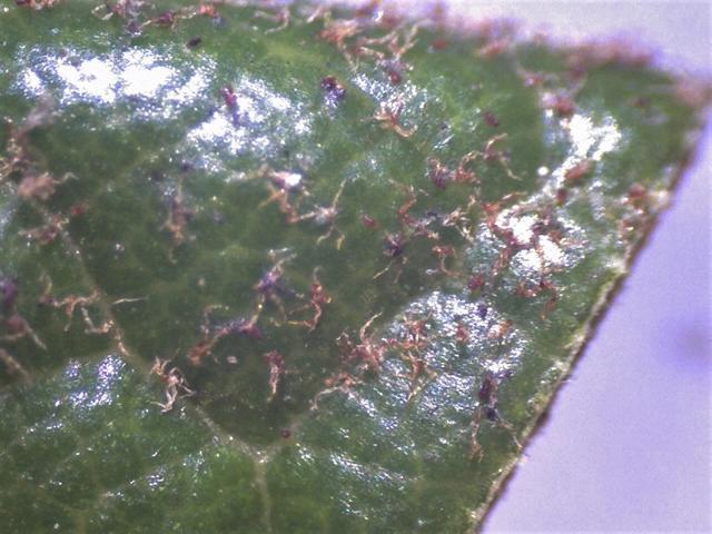 Rh. crinigerum, tomentum leaf u.s. dendroid hairs and glands-640x480
