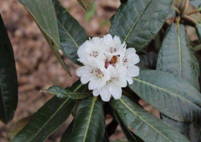 Rhododendron rex ssp. fictolacteum