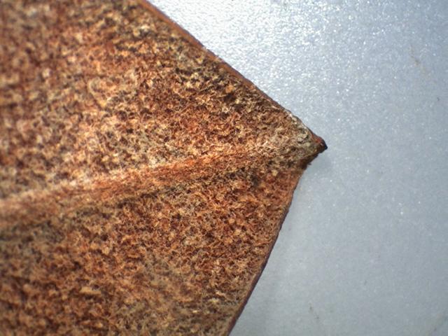 Rh. rex ssp. fictolacteum, FB22-2018 apex