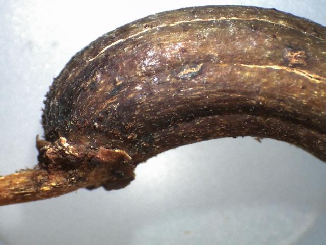 Rh. rex ssp. fictolacteum, FB22-2018, capsule