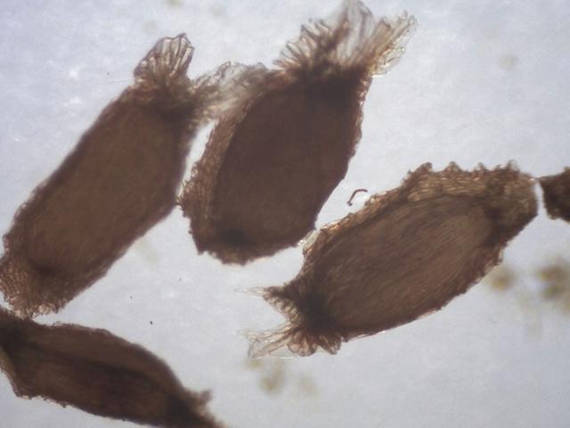 Rh. rex ssp. fictolacteum, FB22-2018, seeds 2.4-2.6 mm
