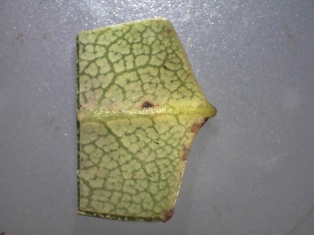 Rh. yuefengense, leaf mucronate apex