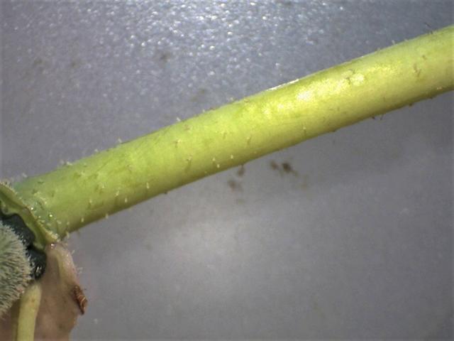 Rh. yuefengense pedicel