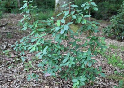 Rhododendron  oreotrephes FB12-2013