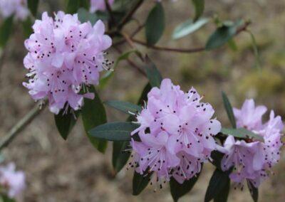 Rhododendron tatsienense FB8-2013
