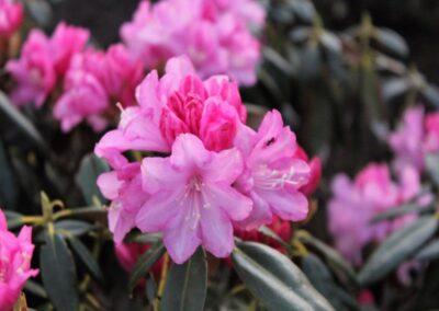 Rhododendron degronianum ssp. heptamerum var. heptamerum
