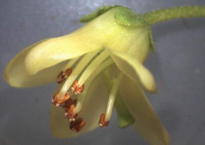 Rhododendron brachyanthum ssp. hypolepidotum 'Dulong'
