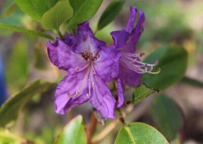 Rhododendron invictum